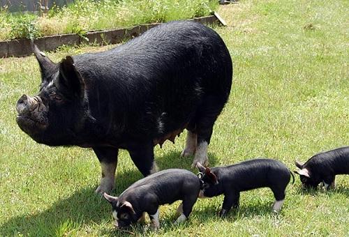 số lô đề mơ thấy lợn đen