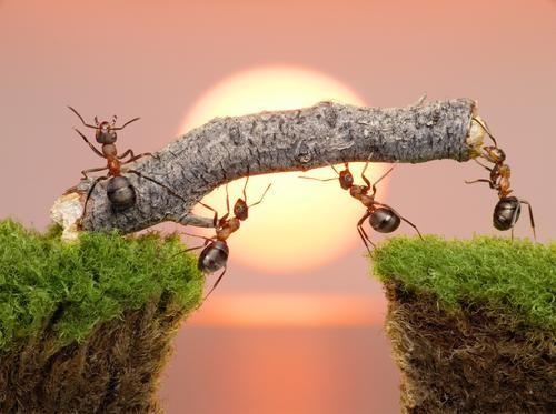 Sức mạnh của đàn kiến thể hiện sức mạnh phi thường của tập thể sau khi đoàn kết