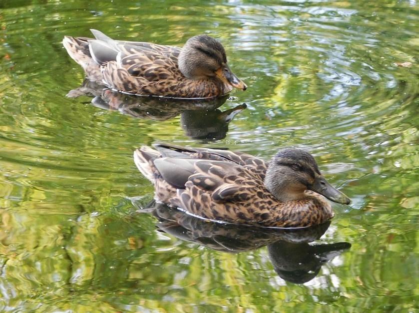 Dream Duck
